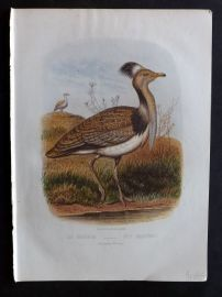 Jones & Cassell 1869 Antique Bird Print. The Houbara